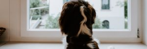 Dog staring out of the window next to a central heating radiator