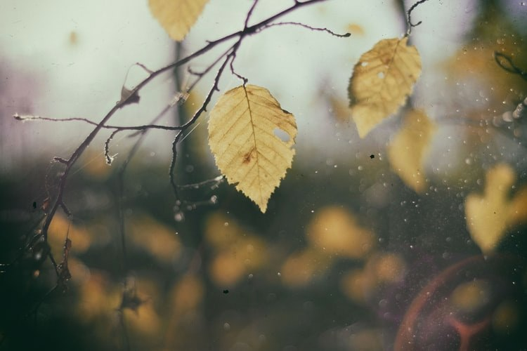 yellow autumn leaves on a rainy day